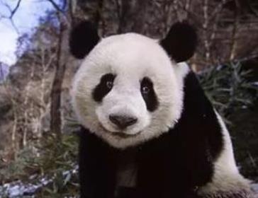 流浪熊猫游戏